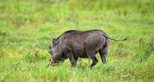 Young Male Warthog Stock Image