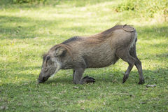 Young male warthog. A young male warthog on his knees eating grass Stock Photos