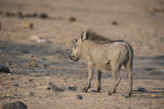Young male warthog. A young warthog motionless listening Stock Photos