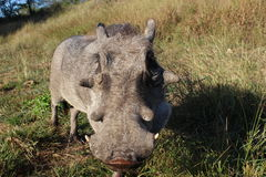 Young Male warthog. Taking Boy for a walk Royalty Free Stock Image