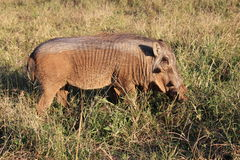 Young male warthog. On a walk. You can see where he has rolled in the mud Stock Photos