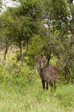 Young male waterbuck Royalty Free Stock Photos