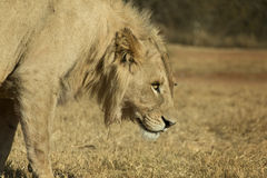 Young Male White Lion on the Prowl Stock Images