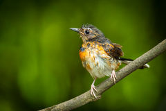 Young male White-Rumped Shama. (Copsychus malabaricus) after shower Stock Images