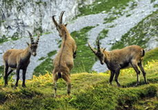 Young male wild alpine, capra ibex, or steinbock. Young male wild alpine ibex, capra ibex, or steinbock fighting in Alps mountain, France stock photos