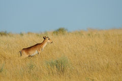 Young male wild Saiga antelope in morning steppe. Young male wild Saiga antelope (Saiga tatarica) in morning steppe. Federal nature reserve Mekletinskii Royalty Free Stock Images