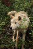 Young male wolf. Light brown young male wolf Stock Photos