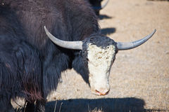 Young male Yak with a white forehead in a pasture Stock Image