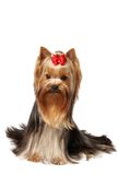 Young male of the Yorkshire Terrier. Isolated on white background Stock Photography