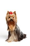 Young male of the Yorkshire Terrier. This is a young male of the Yorkshire Terrier isolated on white background Stock Photo