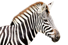 Young male zebra head Royalty Free Stock Photo