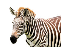 Young male zebra isolated Stock Image