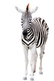 Young male zebra isolated Stock Photo