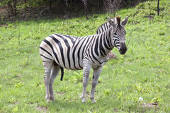 Young Male Zebra in Open Grassland of Wildlife Reserve Stock Image