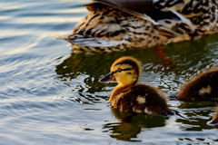 Young Mallard Anas platyrhynchos swimming  in sunlight. With mother and siblings in background. Calm water of pong Royalty Free Stock Photography
