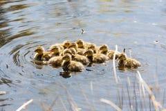 Young mallard chicks. At Vancouver BC Canada Stock Photo