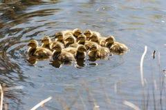 Young mallard chicks. At Vancouver BC Canada Royalty Free Stock Image