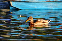 Young mallard duck. (anas platyrhynchos) swimming near a blue boat Royalty Free Stock Images