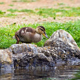 Young Mallard Duck Stock Images