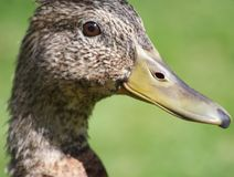 Young Mallard Duck female - also called a Hen Royalty Free Stock Images