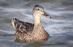 Young Mallard duck female swimming on water`s surface Stock Image