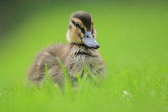 Young mallard duck. In the grass Royalty Free Stock Images
