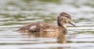 Young mallard duck, juvenile. Swimming in a lake Stock Photos