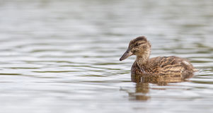 Young mallard duck, juvenile. Swimming in a lake Stock Image