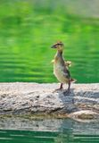 Young Mallard Duckling standing on the rock. And shaking his wings to get dry Stock Photography