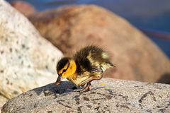 A young Mallard duckling walking on top of a rock.  Stock Photography