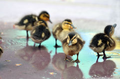Young Mallard Ducklings. Mallard Ducklings playing in shallow water Stock Image