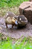 Young mallard ducklings standing in grass Stock Photo