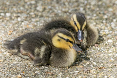 Young Mallard Ducklings Royalty Free Stock Image