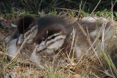 Young mallard ducks. Young mallard duck chicks resting Stock Photography