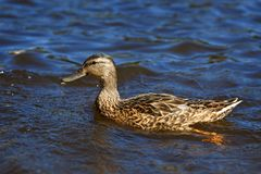 Young Mallard ducks swim in the pond. In the summer Royalty Free Stock Photography