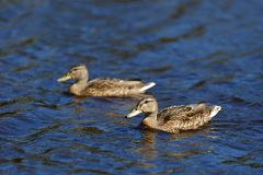 Young Mallard ducks swim in the pond in the summer.  Royalty Free Stock Photography