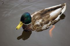 Young Mallard male duck closeup Royalty Free Stock Photos