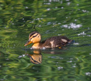 Young mallard swims Stock Photo