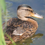 Young mallard or wild duck Anas platyrhynchos. Young mallard. Wild duck or Anas platyrhynchos Stock Photography