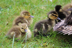 Young Mallards, anas platyrhynchos,  ducklings. Young fluffy mallard, anas platyrhynchos, ducklings walking on a lawn following their mother (whose tail feathers Stock Photo