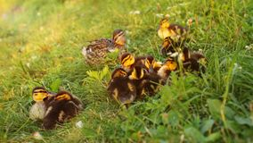 Young mallards wild ducks ducklings, mother in background, get. Ting ready to sleep on grass, sunset light in background Royalty Free Stock Images