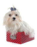 Young maltese dog. Maltese dog in front of white background Royalty Free Stock Image