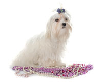 Young maltese dog. Maltese dog in front of white background Stock Images