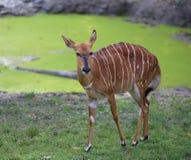 Young mammal nyala grazing with brown fur Stock Photos