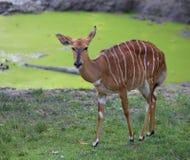 Young mammal nyala grazing Royalty Free Stock Photo