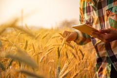 Young man agriculture engineer squatting in gold wheat field