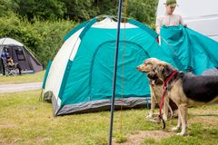 Young man assembling dome tent with dogs royalty free stock photography