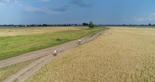 A young man with a child riding bicycles on a country road along the wheat fields. Shooting from a drone. Sports. A young man with a child riding bicycles on a stock video