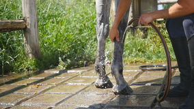 Young man cleaning the horse by a hose with water stream outdoor. Horse getting cleaned. Guy cleaning legs of the horse