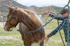 Young man cleans his horse after a horse ride near Aguanga, CA,. Young man cleans his horse with a water hose after a horse ride near Aguanga, CA, USA royalty free stock photos